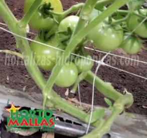 alimentos ecológicos tomates con tutoreo