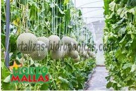 cultivo de melones en hidroponia