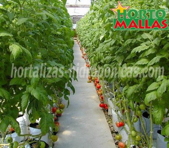 cultivo de tomates en invernadero